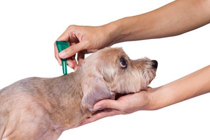 Was tun gegen Hundeflöhe? – Effektiv erkennen und bekämpfen