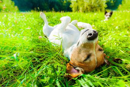 Warum fressen Hunde Gras? – Aufklärung und Grundlegendes